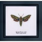 Cross Stitch Kit Spurge Hawk Moth