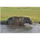 Botswana hippo