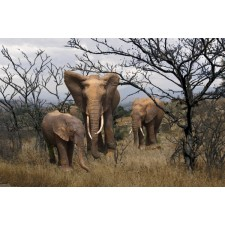Elephants in the bush (medium)