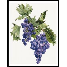 Concord Grapes - #11381-PFLD