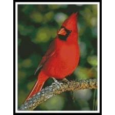 Cardinal Photo - #11400