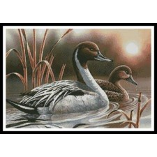 Pintails - #10591-PFLD