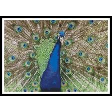 Peacock Display - #10895