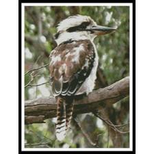 Kookaburra - #11013