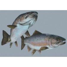 Arctic Salmon