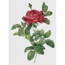 Rosa Gallica Pontiana