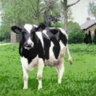 Koe in de wei - Betsy