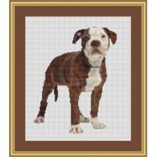Buldog puppy - American Bulldog Puppy