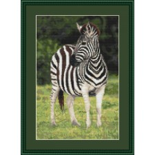 Zebra - Stunning Stripes