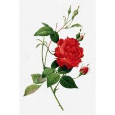 Rosa Indica Cruenta - Pierre-Joseph Redoute