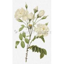 Rosa Campanulata alba - Pierre-Joseph Redoute